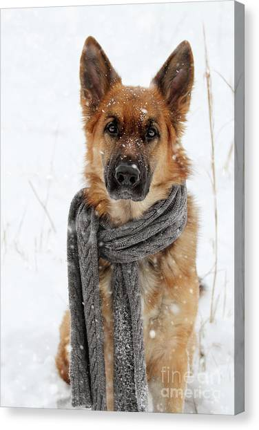 German Shepherd Wearing Scarf In Snow Canvas Print