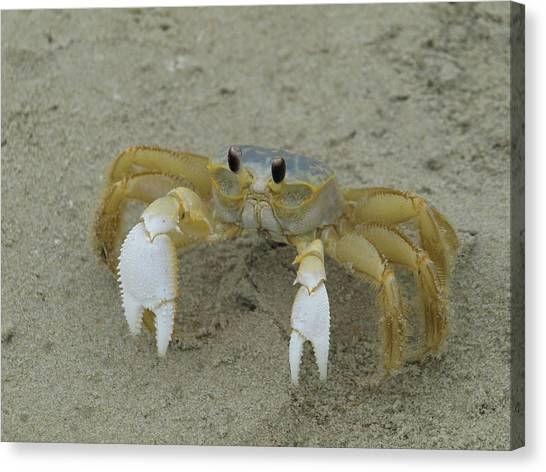 Ghost Crab - 1 Canvas Print