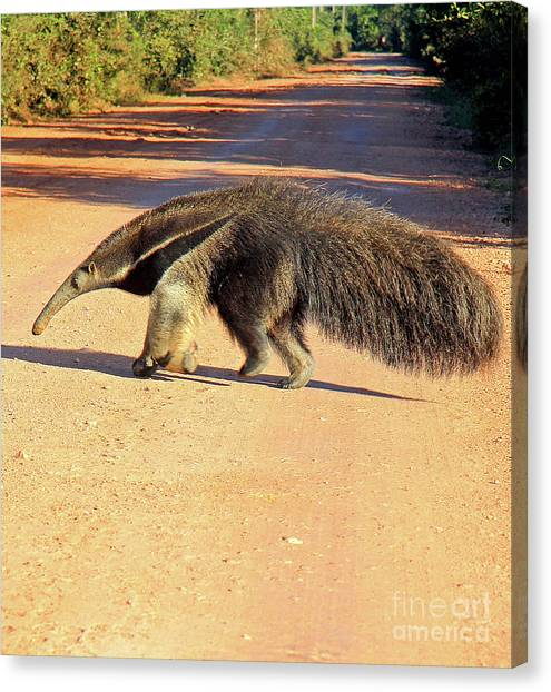 Giant Anteater Crosses The Transpantaneira Highway In Brazil Canvas Print