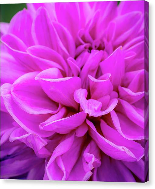 Canvas Print featuring the photograph Giant Dahlia Fuhsia by John Brink