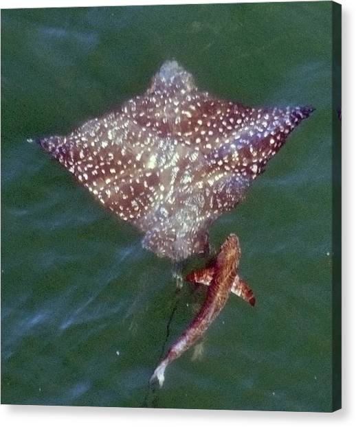 Giant Eagle Ray Canvas Print by Bill Perry