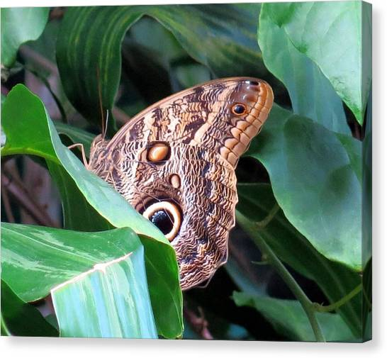 Giant Owl Butterfly Canvas Print