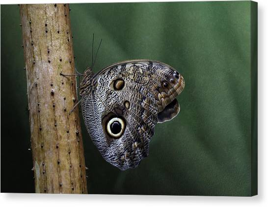 Giant Owl Butterfly On Screw Pine Canvas Print