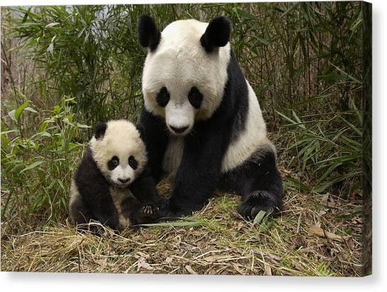 Canvas Print featuring the photograph Giant Panda Ailuropoda Melanoleuca by Katherine Feng