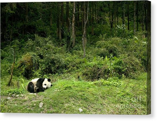 Sleeping Giant Canvas Print - Giant Panda Asleep By The Forest by Inga Spence