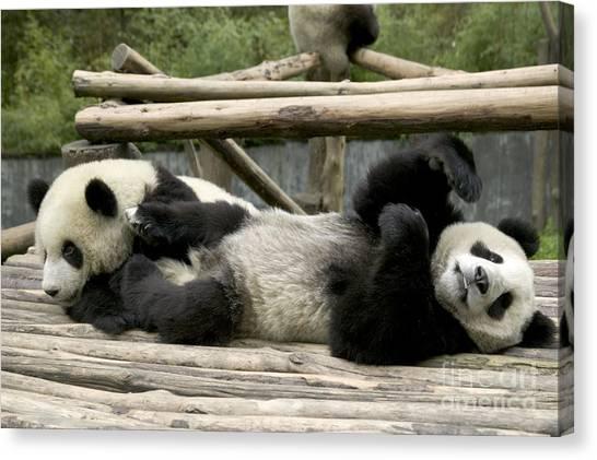 Sleeping Giant Canvas Print - Giant Pandas At Play by Inga Spence