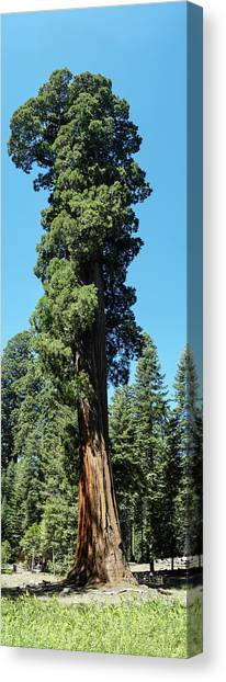 Giant Sequoia, Sequoia Np, Ca Canvas Print