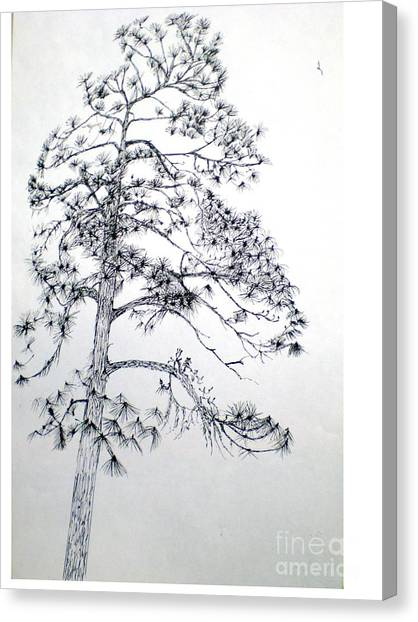 Giant Silver Pine Tree Canvas Print by Hal Newhouser