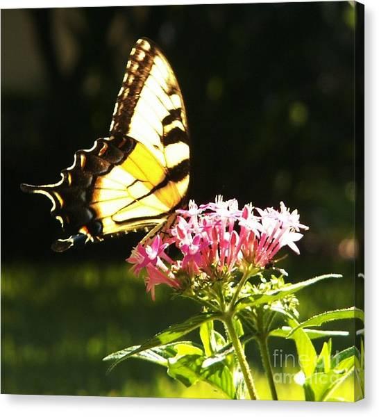 Giant Swallowtail On Penta Canvas Print