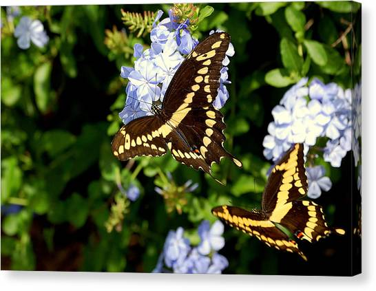 Giant Swallowtails Canvas Print by Steven Scott