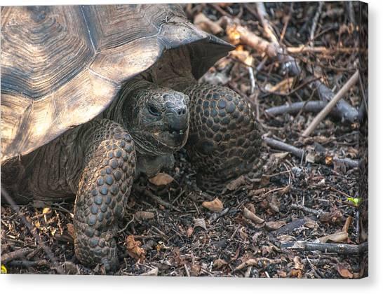Giant Tortoise At Urbina Bay On Isabela Island  Galapagos Islands Canvas Print
