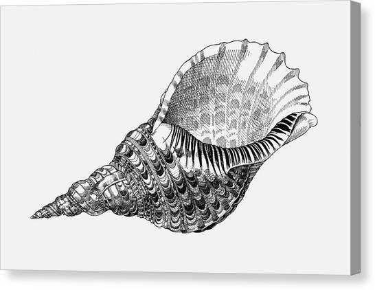 Giant Triton Shell Canvas Print