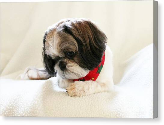 Shih Tzus Canvas Print - Ginger by Lena Auxier
