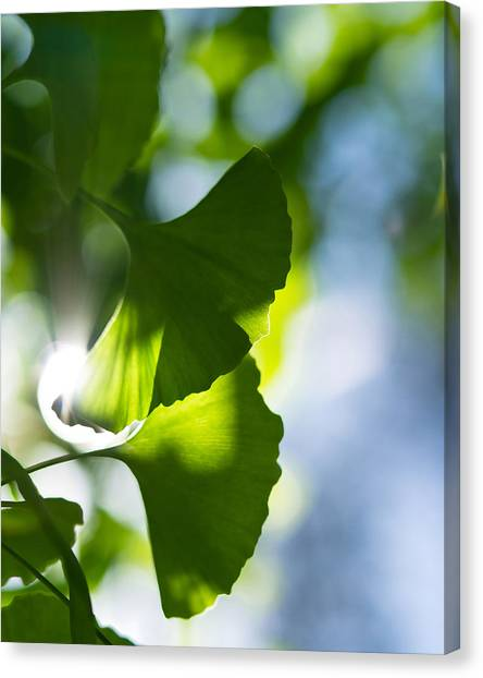 Gingko Leaves In The Sun Canvas Print