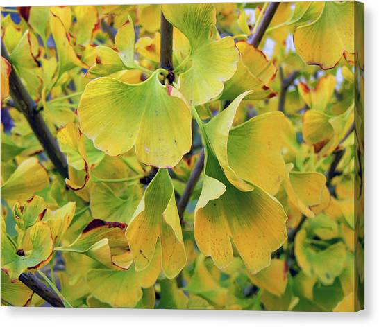 Ginkgo Gold Canvas Print