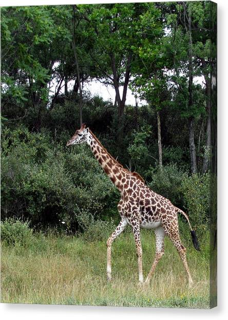 Giraffe 2 Canvas Print by George Jones