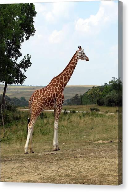 Giraffe 3 Canvas Print by George Jones