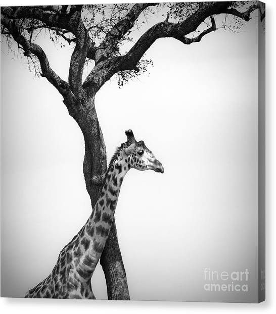 Giraffes Canvas Print - Giraffe And A Tree by Konstantin Kalishko