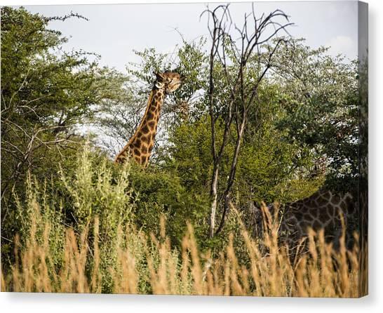 Giraffe Browsing Canvas Print