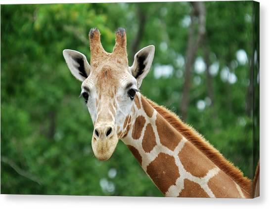Giraffe Face Canvas Print by Teresa Blanton