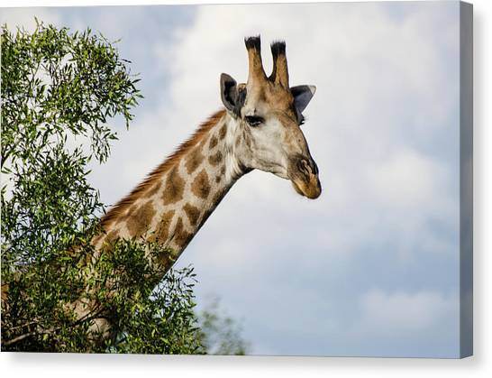 Canvas Print featuring the photograph Giraffe In Manyeleti Game Reserve by Rob Huntley