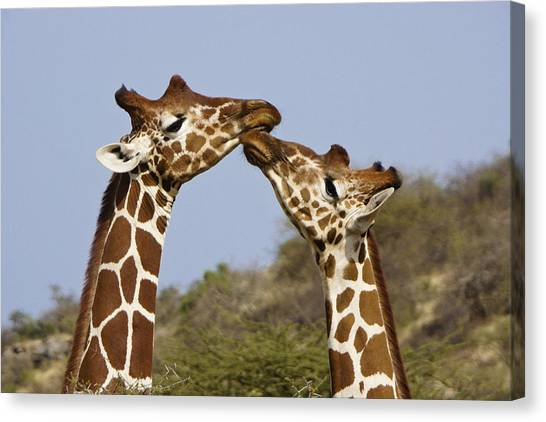Giraffes Canvas Print - Giraffe Kisses by Michele Burgess