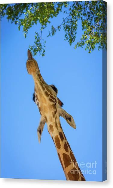 North Rim Canvas Print - Giraffe Lunch by Inge Johnsson