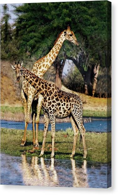 Giraffe Mother And Calf Canvas Print
