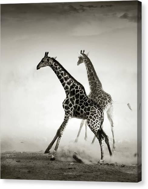 Dust Canvas Print - Giraffes Fleeing by Johan Swanepoel