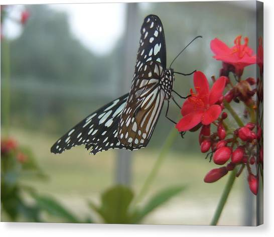 Glass Wing Butterfly Canvas Print by James and Vickie Rankin