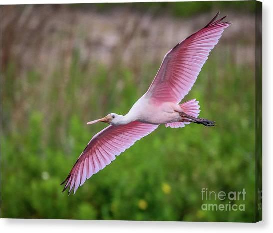 Gliding Spoonbill Canvas Print