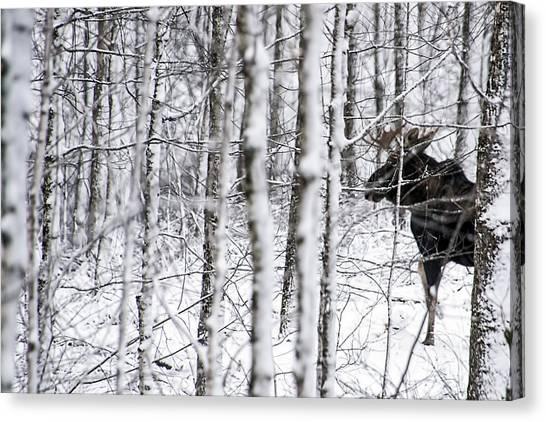 Glimpse Of Bull Moose Canvas Print