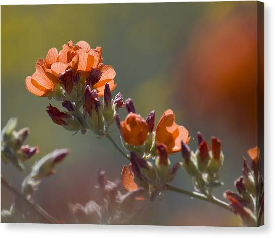 Globe Mallow Bloom Canvas Print