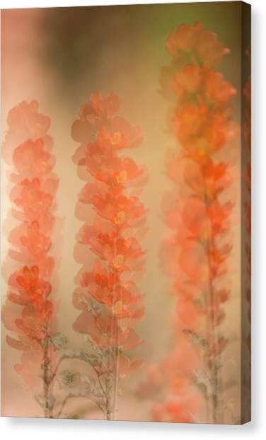 Globe Mallow Impressions Canvas Print