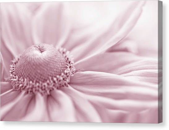 Gloriosa Daisy In Pink  Canvas Print