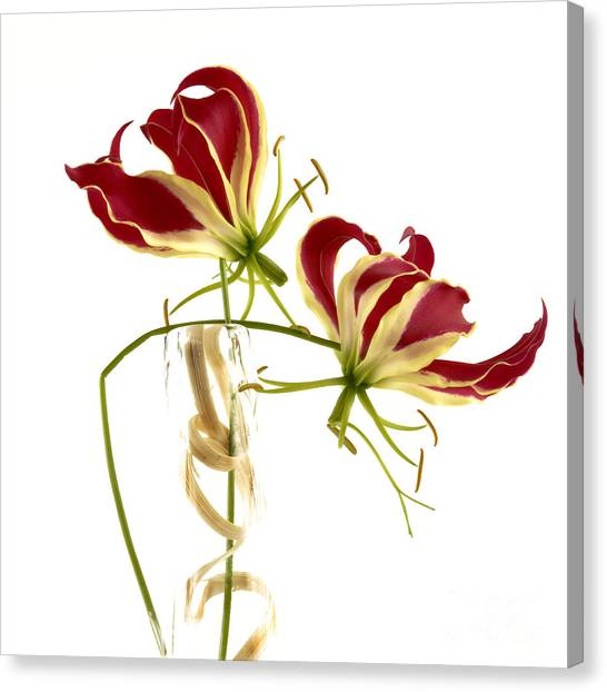 Cut-outs Canvas Print - Gloriosa Lily. by Bernard Jaubert