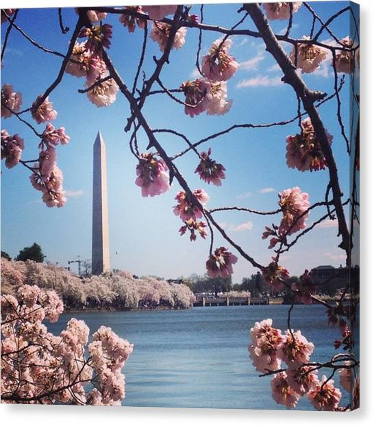 Washington Monument Canvas Print - Cherry Blossoms by Anna S