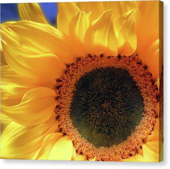 Glorious Sunflower Canvas Print