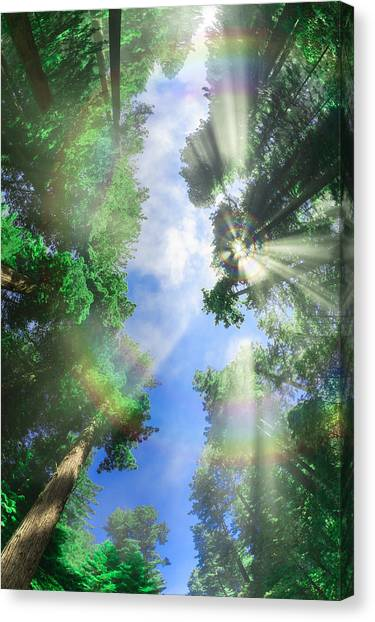 Glory Amongst Redwoods Canvas Print
