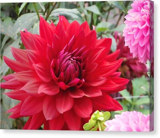 Glory Crimson Dahlia  Canvas Print