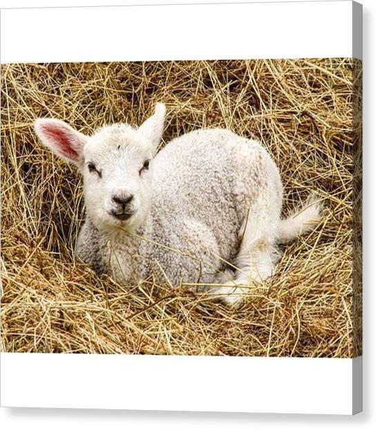 Innocent Canvas Print - Glory To The Lamb.  #splendid_animals by Philipp Boemer