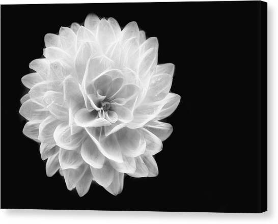 Glowing Dahlia Canvas Print