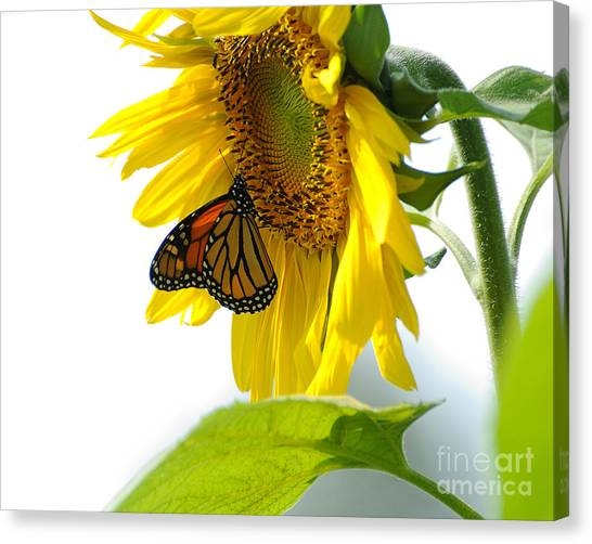 Glowing Monarch On Sunflower Canvas Print