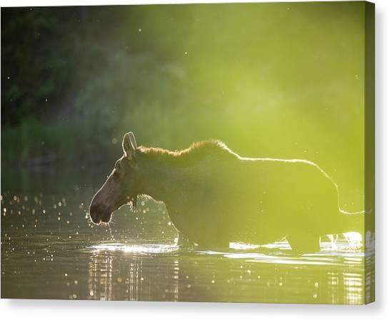 Canvas Print featuring the photograph Glowing Moose // Glacier National Park  by Nicholas Parker
