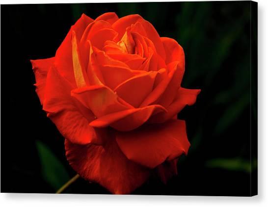 Glowing Orange Rose Canvas Print