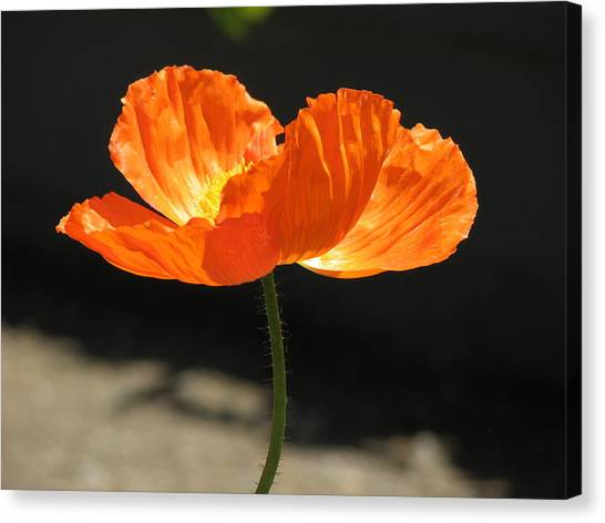Glowing Poppy Canvas Print by Helaine Cummins
