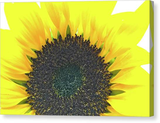 Glowing Sunflower Canvas Print