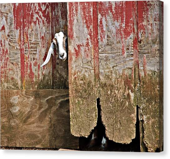 Goat And Old Barn Door Canvas Print