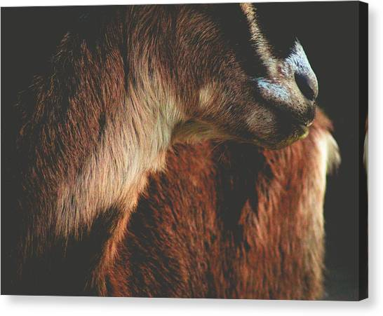 Canvas Print featuring the photograph Goat Love by Viviana  Nadowski