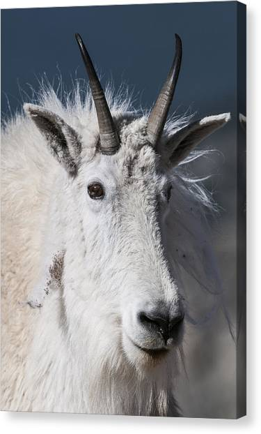 Canvas Print featuring the photograph Goat Portrait by Gary Lengyel
